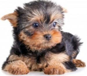 puppi_h